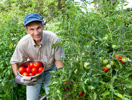 cueillette: Sourire man picking tomates dans son jardin.  Banque d'images