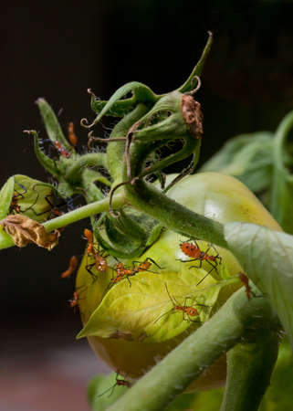stink: Macro shot of young nymph stink bugs on tomato plant