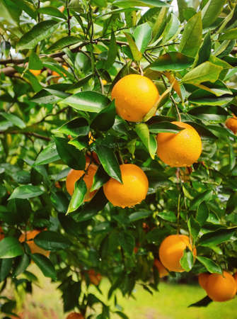 Colorful orange tree loaded with fruit with raindrops