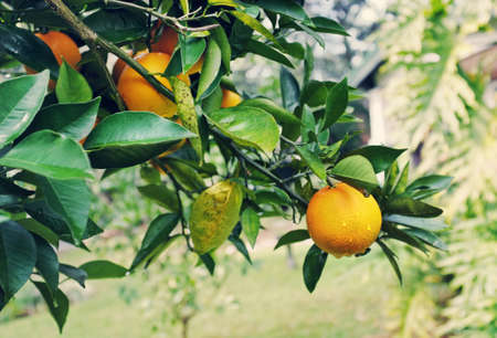 Branches of a Florida orange tree with ripe oranges dotted with dew or raindrops