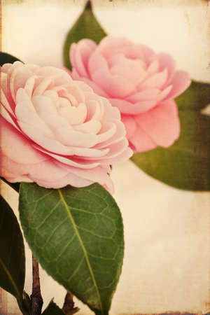 Two Pink Perfection Camellias. Photo has been creatively textured for painterly, vintage look. photo