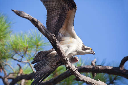 talons: Osprey landing on a branch with wings unfurled and fish in his talons