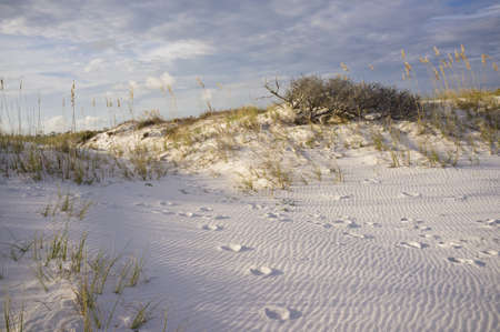 florida landscape: Landscape of beach dunes with footprints in the sand, at the rosy sunset hour. Pensacola, Florida.