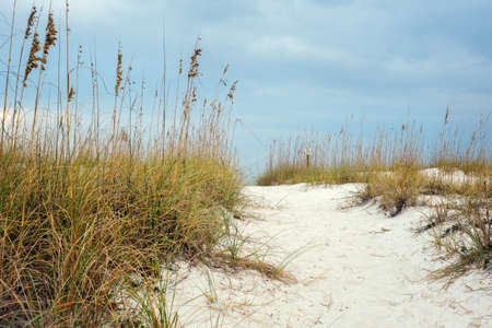 sea oats: Sandy Path leads through the hilly dunes to beautiful beach in Florida. Surrounding the path are local plants  sea oats that help to stabilize and grown beach sand dunes.