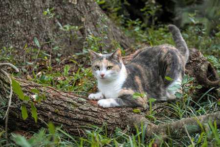 clawing: Calico Cat Scratches and sharpens her claws on tree Stock Photo