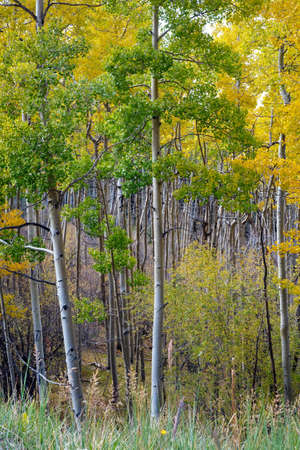 aspen grove: Pristine Aspen Grove with silvery luminescent bark and trunks and leaves turning gold in autumn in Santa Fe National Forest, New Mexico.