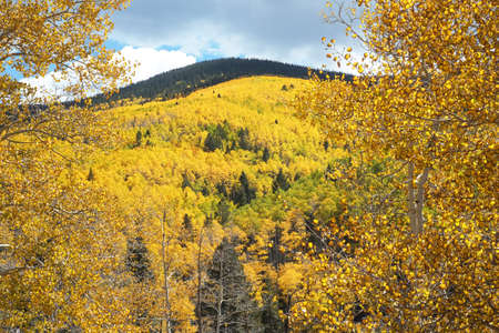 Aspens turning gold in fall in the Sangre de Cristo Mountains in the Santa Fe National Forest. Horizontal view with trunk and leaves of one aspen tree closer in the foreground. photo