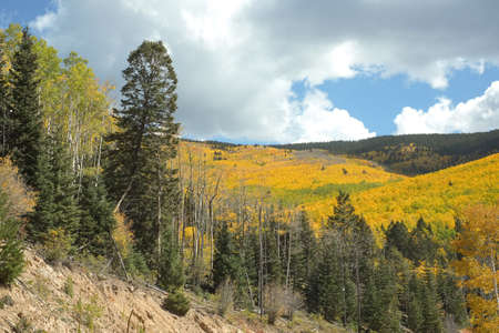 Landscape of golden aspens turning in the autumn in Santa Fe National Forest in the Sangre de Cristo Mountain range. photo