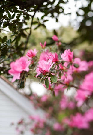 magnolia: Branch of pink azaleas under a magnolia branch outdoors  Tilt-shift lens used, providing soft selective focus  Sharpest focus on center azalea