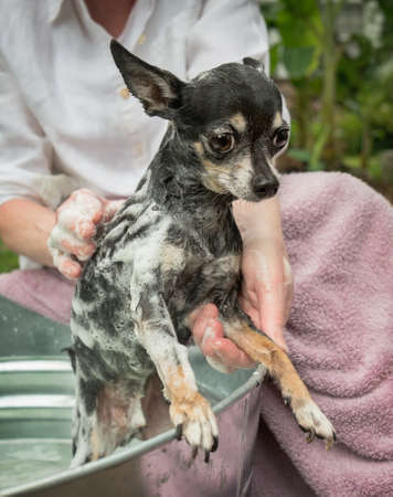 Woman washing a cute black and white chihuahua outdoors in a metal wash tub. Lots of soapy lather and bubbles. photo