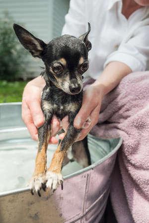 Closeup of woman washing a chihuahua in a metal wash tub outdoors. photo