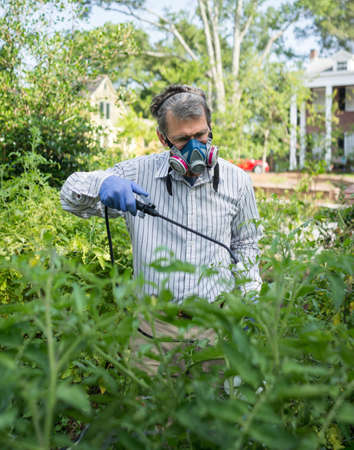 yard work: Man in face mask and gloves spraying insecticide on tomato plants in garden  Stock Photo