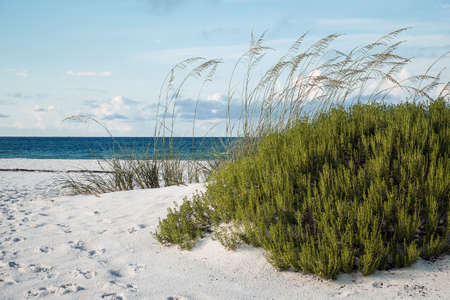 sea oats: Beach Rosemary and Sea Oats at beautiful Florida Beach Stock Photo