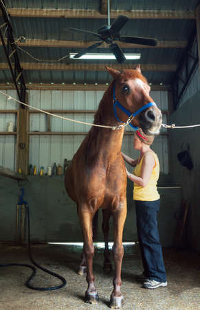horse stable: Woman Brushing Her Chestnut Gelding in the Stables
