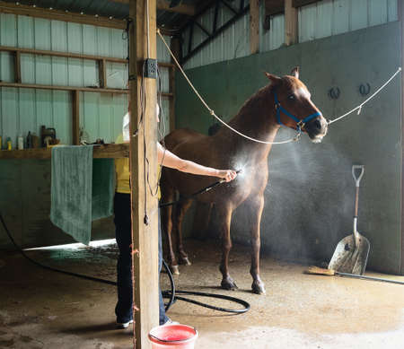 Woman washing a chestnut gelding horse in a barn