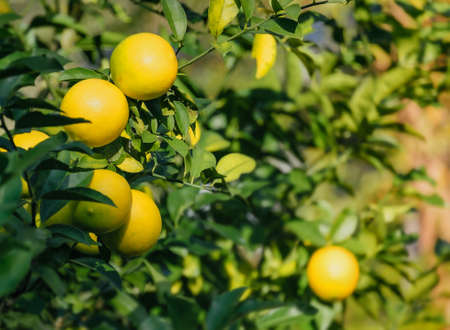 lemon tree: Closeup of colorful ripe lemons on tree  Stock Photo