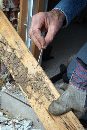 prying: Closeup photo of manCloseup photo of man showing live termite and damage Stock Photo