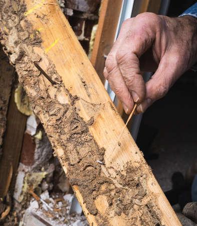 生きているシロアリおよび損傷を示す人間のクローズ アップ写真