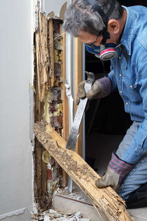 exterminator: Man removing wood damaged by termite infestation in house  Stock Photo