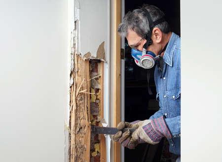 insecto: Hombre que quita tablaroca y madera dañada por la infestación de termitas en casa