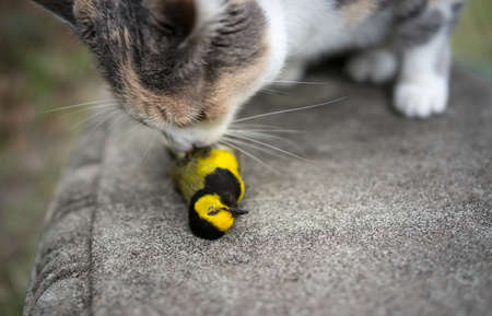 calico whiskers: Calico Cat sniffing its unfortunate prey, a beautiful yellow Hooded Warbler song bird   Stock Photo
