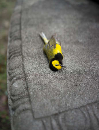Bright yellow Hooded Warbler bird lying dead on a park bench