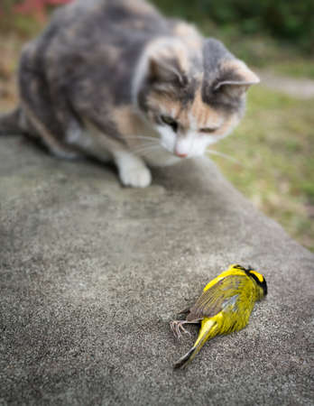 calico whiskers: Calico Cat with its prey, a yellow Hooded Warbler Song bird