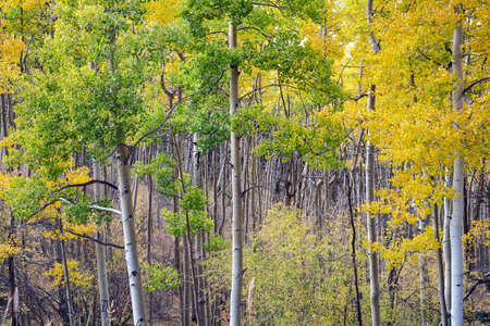 aspen grove: Deep depth of field shot of colorful aspen grove in Santa Fe National Forest in autumn.
