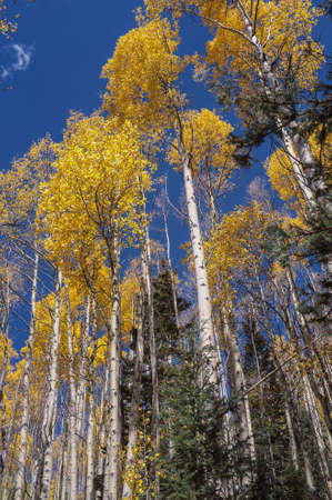 Looking up in an aspen grove in Santa Fe National Forest in autumn. photo
