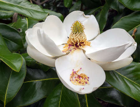 carpels: TIght shot of a huge white magnolia blossom against the dark green tree leaves. In detail view of reproductive organs of the plant. Stock Photo