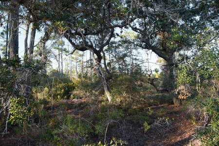 scrub grass: A favorite spot among birdwatchers and campers, the hiking path at Fort Pickens, part of the Gulf Islands National Seashore in Pensacola, Florida in Santa Rosa Island. A variety of native plants, trees and wildlife can be viewed in a typical Florida ecosy