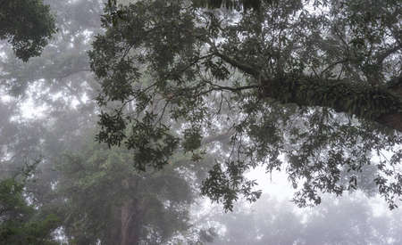 humid: Resurrection Fern thrives in the hot humid south on huge Live Oak Trees. View shown looking up into the forest canopy in dense daybreak fog. Good background or mood shot. Stock Photo