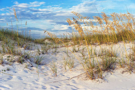 pensacola beach: Footprints in the colorful sand dunes with ripe golden sea oats at sunset in Florida.