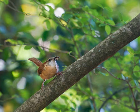 thryothorus: Mother Carolina Wren with insect in her beak rests on branch in spring woodland setting, closeup. State bird of South Carolina, they mate for life Stock Photo