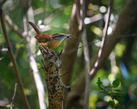 pensacola: Mother Carolina Wren with insect in her beak rests on branch in spring woodland setting, closeup. State bird of South Carolina, they mate for life Stock Photo