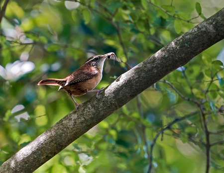 thryothorus: Mother Carolina Wren with insect in her beak rests on branch in spring woodland setting, closeup. State bird of South Carolina, they mate for life.