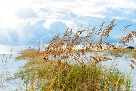 pensacola beach: Golden sea oats waving in the breeze on a pristine beach in Pensacola