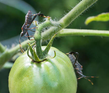 Extreme detailed closeup of a Leaf-footed Bug on a green tomato in the garden.