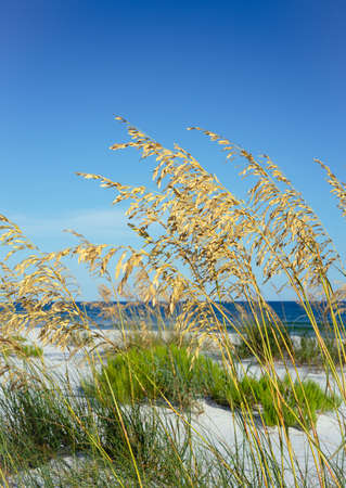 Closeup of ripe golden sea oats blowing in the summer breeze against a backdrop of white beach and Gulf of Mexico Stock Photo