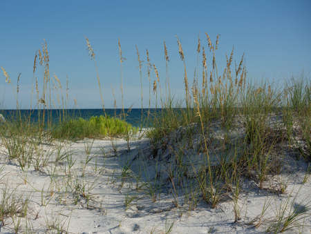 Sea Oats ripen in the sand dunes in northwest Florida overlooking the colorful Gulf of Mexico.