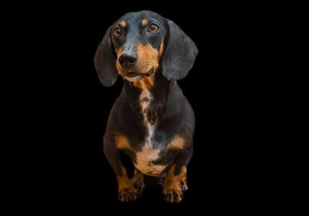 Dachshund dog on black background