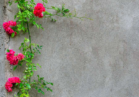 background: concrete wall and roses