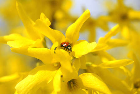 lightsome: A ladybird standing on a big yellow flower with many similar flowers around Stock Photo