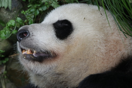 Closed-up Giant Pandas Face