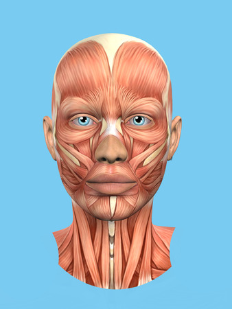 Anatomy front view of major face muscles of a woman including procerus, masseter, orbicularis oculi, zygomaticus, buccinator and nasalis.