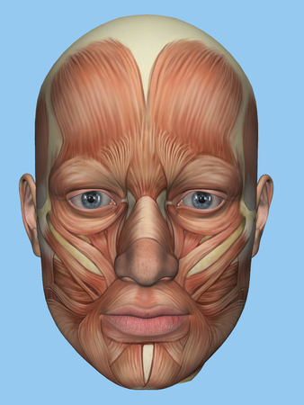 Anatomy front view of major face muscles of a male including occipitofrontalis, procerus, masseter, orbicularis, zygomaticus, buccinator and cranial aponeurosis.