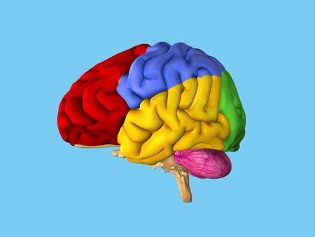 Regions of the brain: Side view featuring frontal lobe (red), parietal lobe (blue), occipital lobe (green), temporal lobe (yellow), cerebellum (pink) and brain stem.