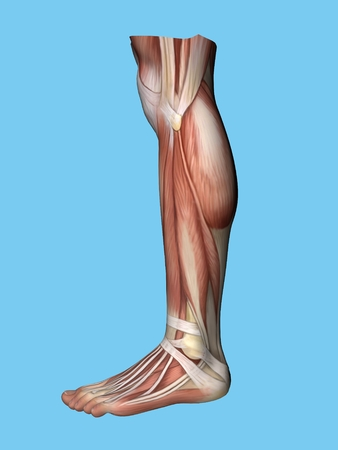 Anatomy lateral side view of leg and foot of a man including extensor digitorum brevis, achilles tendon, calf muscle, gastrocnemius muscle,soleus, peroneus longus and tendon tibalis anterior. Stock Photo