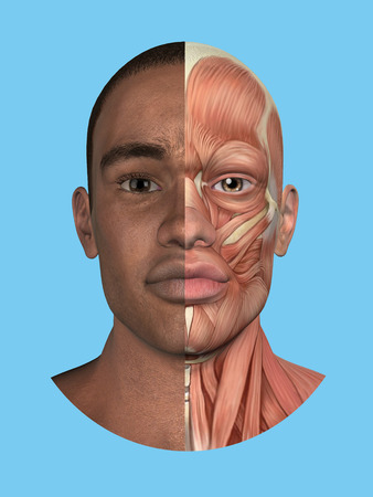 homo: Anatomy split front view of face and major facial muscles of a man including occipitofrontalis, procerus, masseter, orbicularis, zygomaticus, buccinator and cranial aponeurosis. Stock Photo
