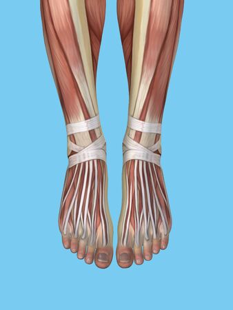 inferior: Anatomy of foot featuring extensor digitorum longus tendons, inferior extensor retinaculum, dorsal interosseous muscles, peroneus brevis muscle and peroneus longus tendon. Stock Photo